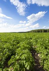 potato field  . Belarus