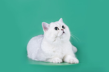 Scottish cat on a green background isolated