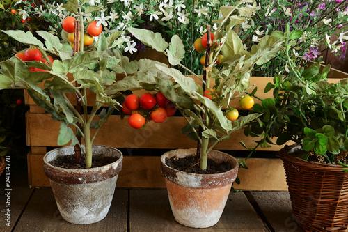 Piante di pomodori in vaso di terracotta fotos de for Piante pomodori in vaso