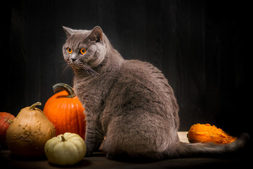 Foto auf Leinwand Katze British shorthar cat next to pumpkins. Black background.