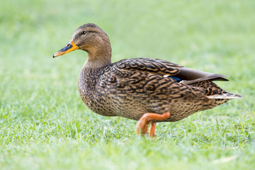 Female Duck in grass