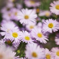 Flowers Michaelmas Daisy