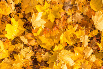 Natural colorful leafs felt on the ground. Fall background.