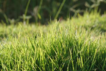 Fresh grass background