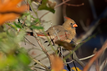 Female cardinal in a bush of autumn leaves