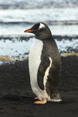 Manchot Papou, base ASPA 134 Punta Cerva, Argentine, côte Danco, Terre de Graham, Antarctique