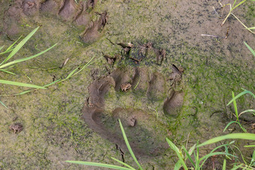 Fresh traces of brown bear