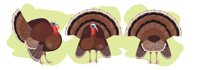 set Turkey birds in different positions, poultry agriculture, chicken farm. the main dish of thanksgiving, a family celebration. vector graphic, funny illustrations, cartoon