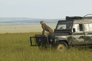 Cheetah surveying grasslands from top of Landrover Vehicle of Masai Mara near Little Governor's camp in Kenya, Africa