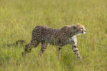 Cheetah stalking through high grasslands of Masai Mara near Little Governor's camp in Kenya, Africa