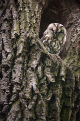 Tawny Owl in the nest hole