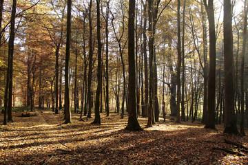 Rotbuchen im Teutoburgerwald