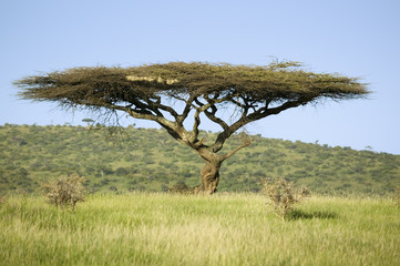 Acacia tree in green grass of Lewa Wildlife Conservancy, North Kenya, Africa