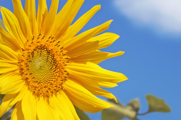 Sunflower head and leaves closeup against the sky