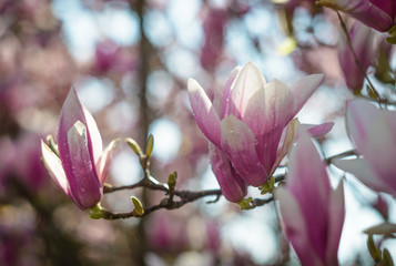 Magnolia flowers with water drops. Blooming magnolia tree in the spring