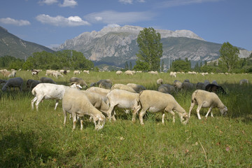Goats grazing in foreground with mountains in background of Pyrenees Mountains, Province of Huesca, Spain