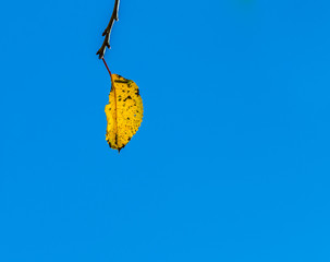 cherry tree leaves under blue sky in harmonic autumn colors