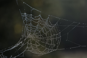 Dew laden cobweb