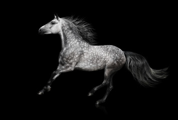 Fotoväggar - The grey Andalusian stallion gallops on black background