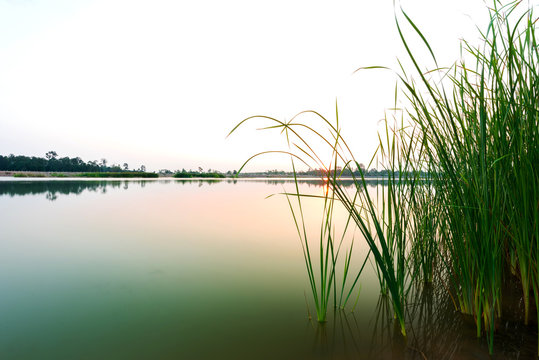 Papyrus at the wetland