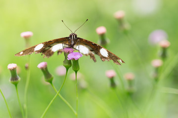 Butterfly on the Little Ironweed  Flower.