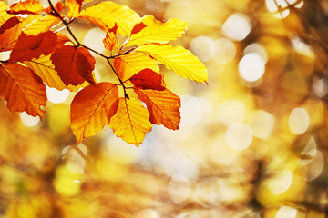 Autumn, Beech Leaves