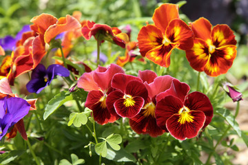 Mixed organic colorful pansy viola flowers in garden, selective