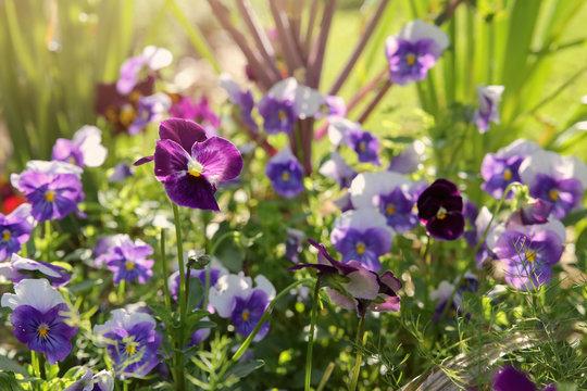 Organic pansy viola flowers in garden, vintage filter