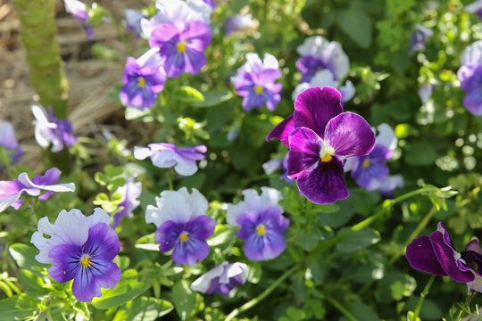 Organic pansy viola flowers in garden, selective focus