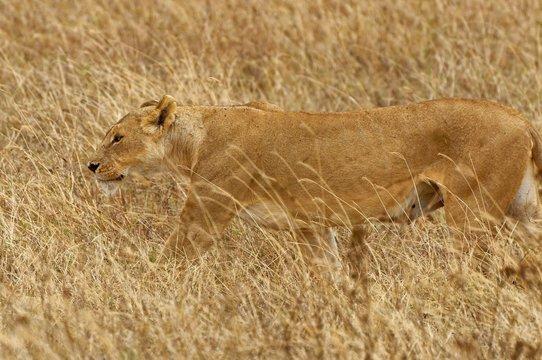 Wild lioness stalking her prey on a grassland in Africa