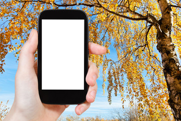 smartphone and yellow birch in autumn
