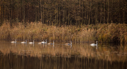 White swans on water surface. Cygnus olor,