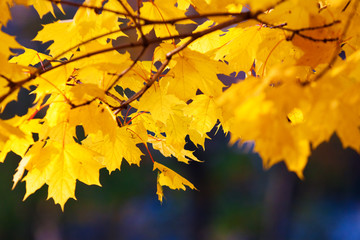 Maple branch with golden leaves