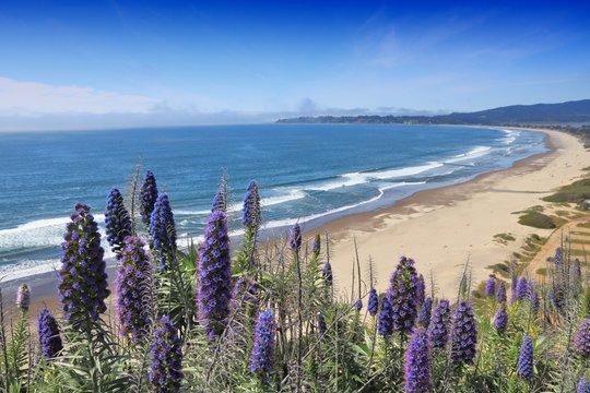 Pride of Madeira plant in California