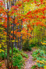 Colourful trail through the woods with deep red leaves on the trees