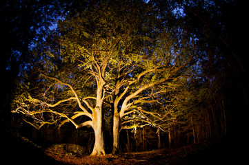 Old linden tree in the evening. Forest in autumn