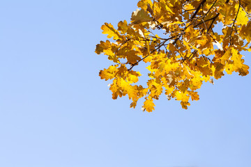 Yellow autumn leaves against the blue sky. Beautiful nature background.