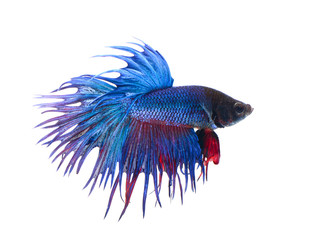 siamese fighting fish , betta on white background.(Thailand)