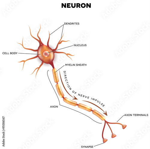 Labeled diagram of the neuron stock image and royalty free vector labeled diagram of the neuron ccuart Gallery