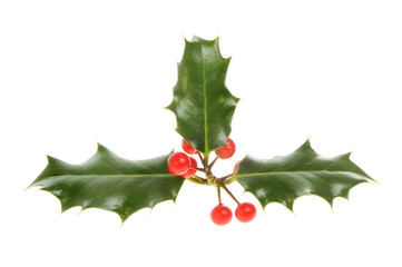 Three leaved holly