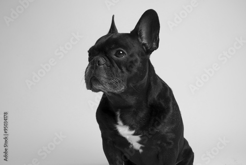 Bulldog franc s imagens e fotos de stock royalty free - Bulldog frances gratis madrid ...