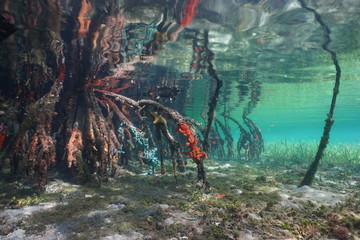 Mangrove tree roots with sea sponges under the sea