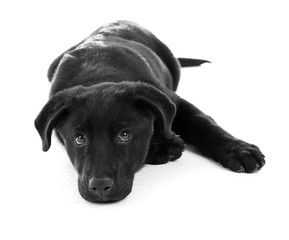 Young black Labrador lying on white background