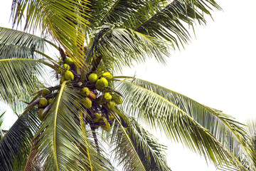 ripening coconut on coconut palms close-up shot