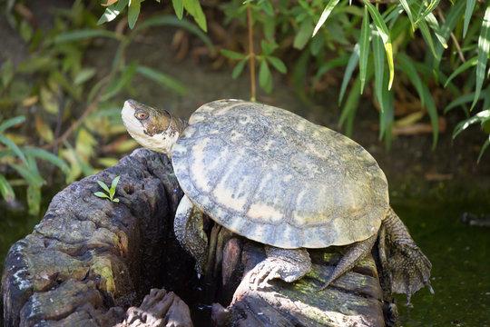 Western Pond Turtle. Santa Clara County, California, USA.