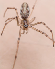 Close up Portrait of Daddy-Long  Legs (Cellar Spider)