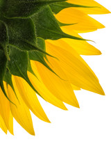 Sunflower and drops on the petals isolated on white background