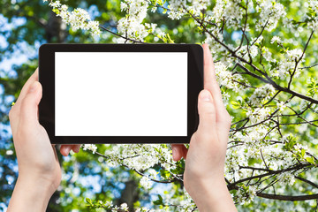 tablet pc and white blossoming tree in spring
