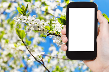 smartphone white flowers on apple tree in spring