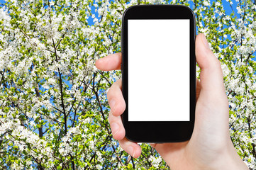 smartphone and blossoming tree in spring